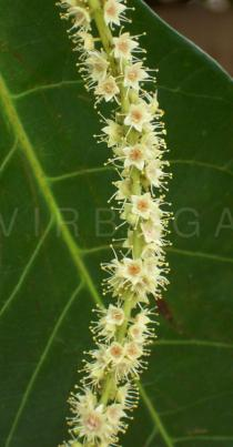Terminalia catappa - Flowers - Click to enlarge!
