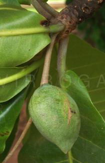 Terminalia catappa - Fruit almost ripe - Click to enlarge!