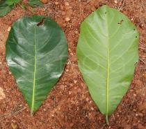 Terminalia catappa - Top and lower side of leaf - Click to enlarge!