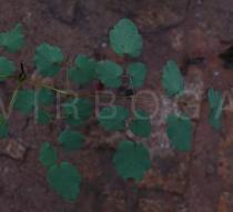 Thalictrum foliolosum - Lower surface of leaf, section - Click to enlarge!
