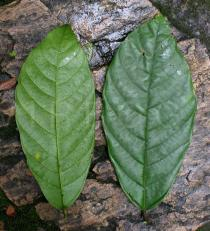 Theobroma cacao - Upper and lower surface of leaf - Click to enlarge!
