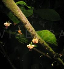 Theobroma cacao - Flowers - Click to enlarge!
