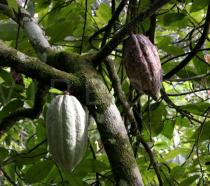 Theobroma cacao - Fruits - Click to enlarge!
