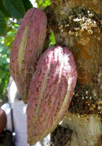 Theobroma cacao - Fruits and flowers - Click to enlarge!
