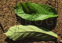 Theobroma grandiflorum - Upper and lower surface of leaf - Click to enlarge!