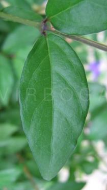 Thunbergia erecta - Upper surface of leaf - Click to enlarge!