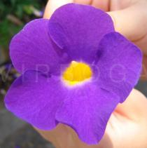 Thunbergia erecta - Flower - Click to enlarge!