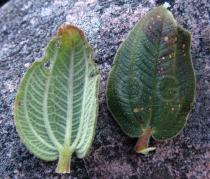 Tibouchina pereirae - Upper and lower surface of leaves - Click to enlarge!