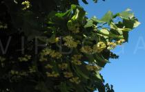 Tilia x europaea - Inflorescences - Click to enlarge!