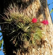 Tillandsia stricta - Habit - Click to enlarge!