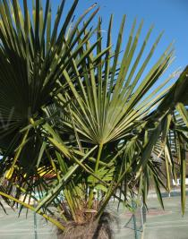 Trachycarpus fortunei - Frond - Click to enlarge!