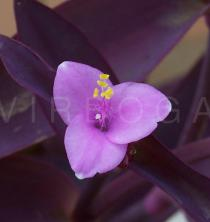 Tradescantia pallida - Flower - Click to enlarge!