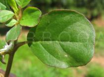 Trianthema portulacastrum - Leaf lower side - Click to enlarge!