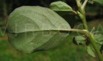 Trianthema portulacastrum - Branch - Click to enlarge!