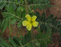 Tribulus terrestris - Flower and leaves - Click to enlarge!