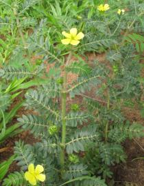 Tribulus terrestris - Branch - Click to enlarge!