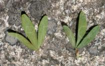 Trifolium arvense - Upper and lower surface of leaf - Click to enlarge!