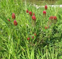 Trifolium incarnatum - Habit - Click to enlarge!