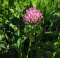 Trifolium pratense - Inflorescence - Click to enlarge!