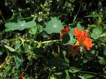 Tropaeolum majus - Branch with flowers - Click to enlarge!
