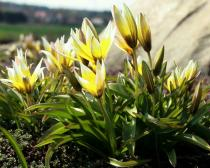 Tulipa sylvestris - Flowers, side view - Click to enlarge!