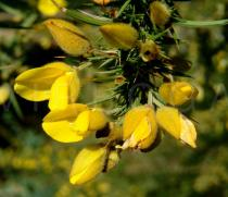 Ulex europaeus - Flowers close-up - Click to enlarge!