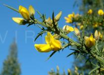 Ulex europaeus - Flowering branch - Click to enlarge!