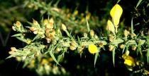 Ulex europaeus - Flower buds - Click to enlarge!