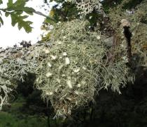 Usnea florida - Habit - Click to enlarge!