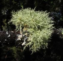 Usnea subfloridana - Habit - Click to enlarge!