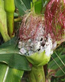 Ustilago maydis - Corn smut galls on an ear of corn - Click to enlarge!
