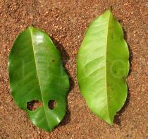 Uvaria chamae - Top and lower side of leaf - Click to enlarge!