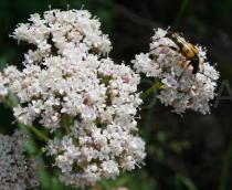 Valeriana officinalis - Inflorescence with pollinator - Click to enlarge!