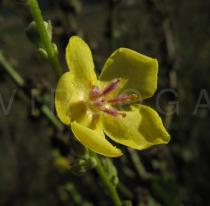 Verbascum sinuatum - Flower - Click to enlarge!