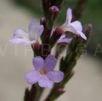 Verbena officinalis - Flowers - Click to enlarge!