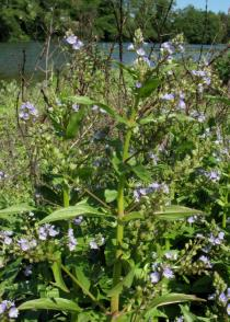 Veronica anagallis-aquatica - Branch with flowers - Click to enlarge!