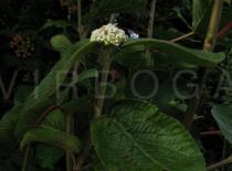 Viburnum lantana - Inflorescence, side view - Click to enlarge!