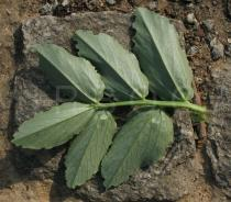 Vicia faba - Lower surface of leaf - Click to enlarge!