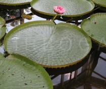 Victoria x amazonica - Habit - Click to enlarge!