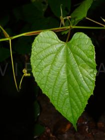 Vitis flexuosa - Upper surface of leaf - Click to enlarge!