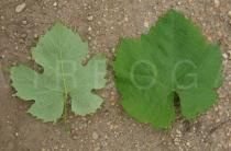 Vitis vinifera - Upper and lower surface of leaf - Click to enlarge!