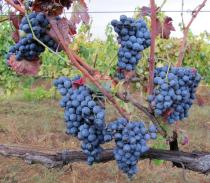 Vitis vinifera - Grapes treated with copper sulfate against fungal infection - Click to enlarge!