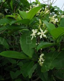 Voacanga africana - Branch with flowers - Click to enlarge!