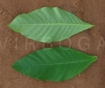 Voacanga africana - Upper and lower surface of leaf - Click to enlarge!