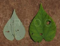 Wissadula amplissima - Upper and lower surface of leaf - Click to enlarge!