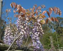 Wisteria sinensis - Branch - Click to enlarge!
