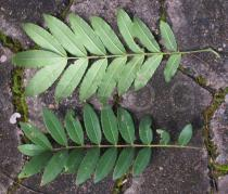 Zanthoxylum rhoifolium - Upper and lower surface of leaves - Click to enlarge!