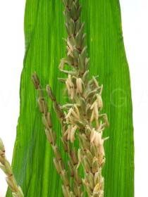 Zea mays - Close-up of tassel - Click to enlarge!