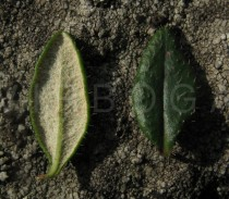 Daboecia cantabrica - Lower and upper surface of leaf - Click to enlarge!