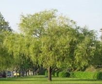 Salix babylonica - Habit of park tree, the lower branches are pruned - Click to enlarge!